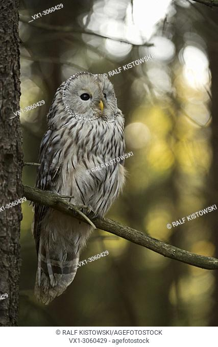 Ural Owl ( Strix uralensis ) sitting in a tree with nice sunlight flares in the background, Europe