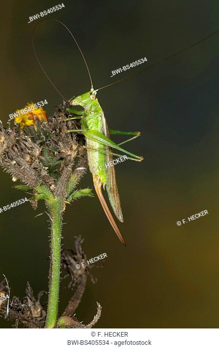 Long winged conehead (Conocephalus fuscus, Conocephalus discolor, Xiphidium fuscum), female on a plant, Germany