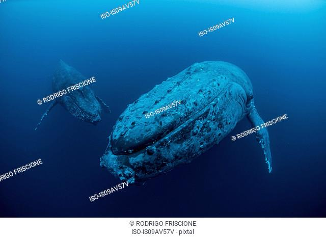 Underwater view of humpback whales, Revillagigedo Islands, Colima, Mexico