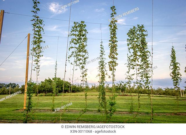 Hops crop in Keedysville, Maryland, USA