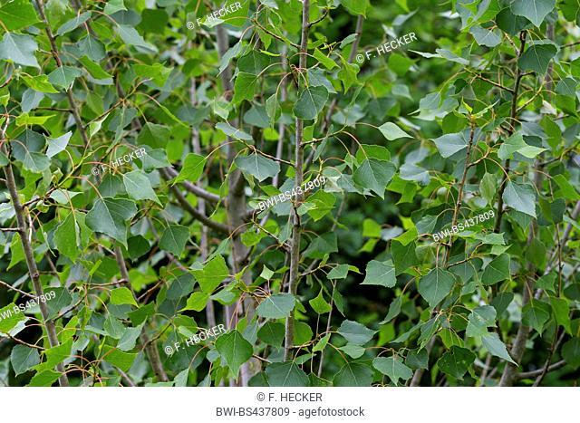black poplar, balm of gilead, black cottonwood (Populus nigra), leaves on a tree, Germany