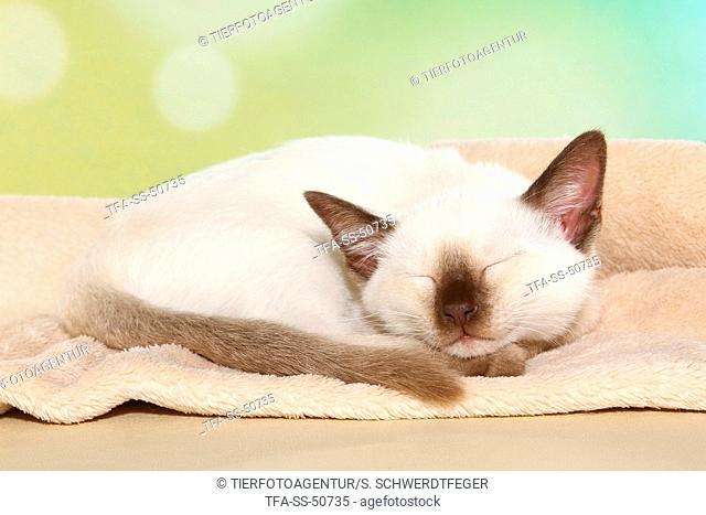 Thai Kitten