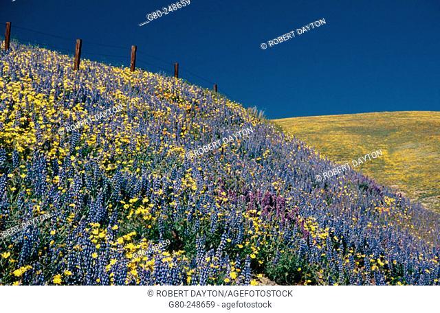 Wildflowers in Gorman. California. USA