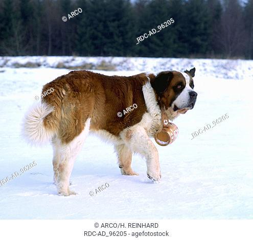 St. Bernhard Dog Bernhardiner