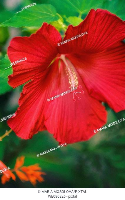 Red China Rose. Hibiscus hybrid. August 2005. Maryland, USA