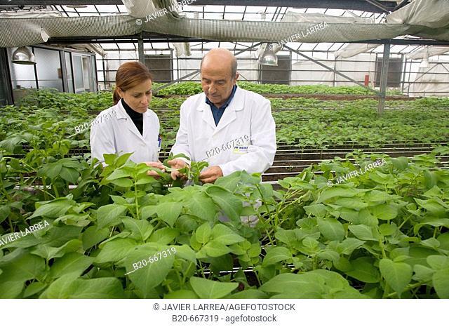 Production of pre-base seed potatoes. Neiker Tecnalia, Instituto de Investigación y Desarrollo Agrario, Ganadero, Forestal y del Medio Natural, Arkaute, Alava