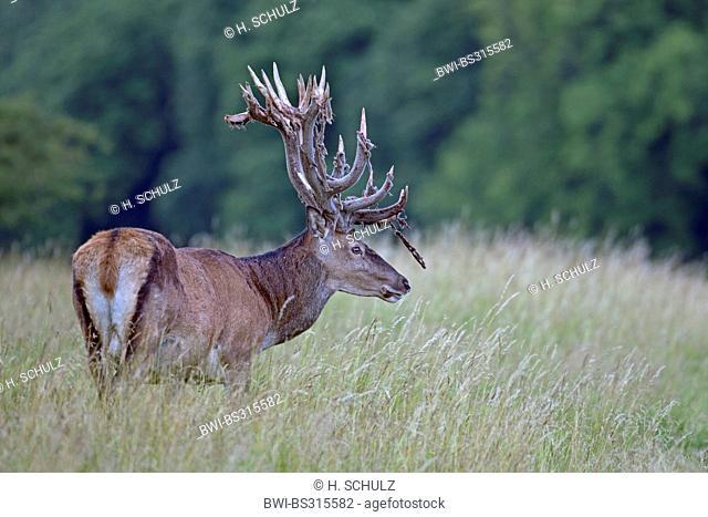 red deer (Cervus elaphus), stag with velvet relics at the antler, Denmark, Jylland