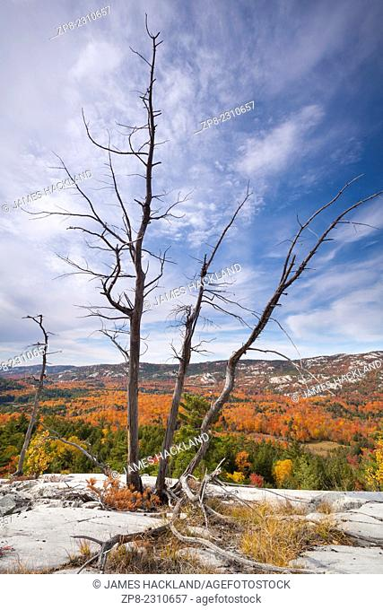 A dead tree on a cliff edge overlooking peak colour in the South La Cloche Range, Killarney Provincial Park, Ontario, Canada