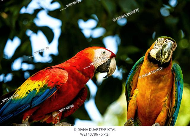 'Scarlet macaw' (Ara macao), They tend to be very intelligent and are even capable of mimicking human language. Corcovado National Park, Costa Rica