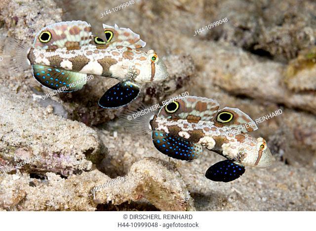 Pair of Crab-Eye Goby, Signigobius biocellatus, Raja Ampat, West Papua, Indonesia