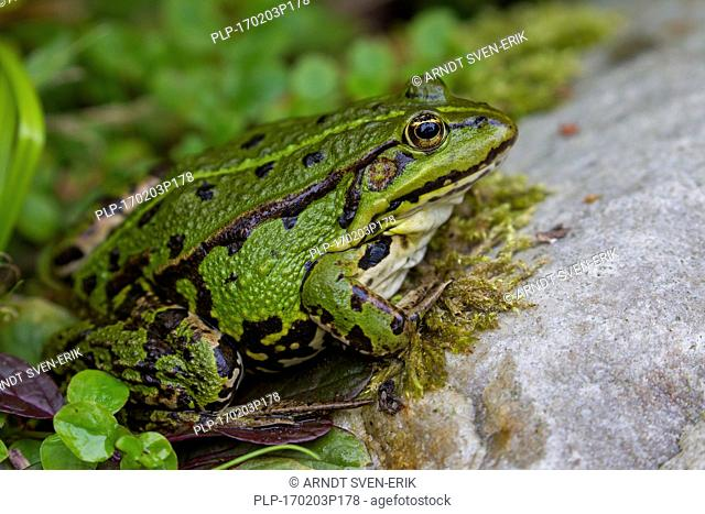 Edible frog / common water frog / green frog (Pelophylax kl. esculentus / Rana kl. esculenta) on land