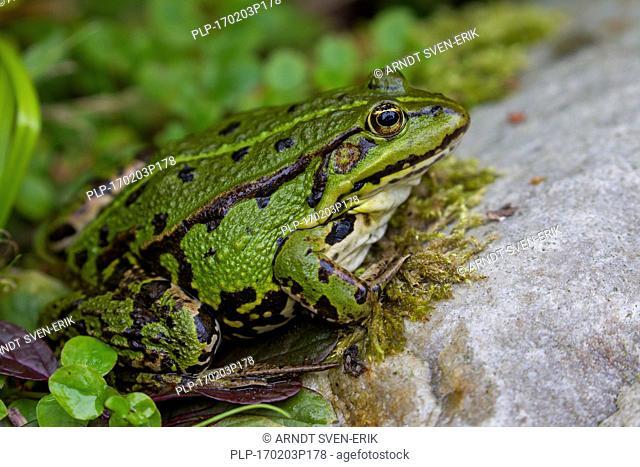 Edible frog / common water frog / green frog (Pelophylax kl. esculentus / Rana kl. esculenta) on land