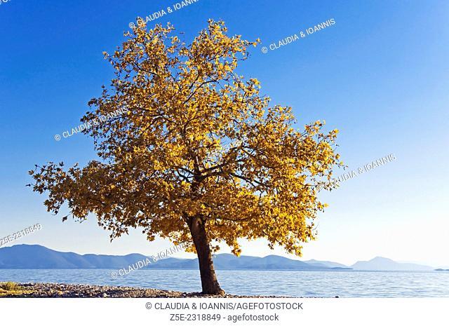 Seascape with autumnal plane tree on Pelion Peninsula, Thessaly, Greece