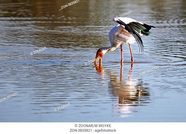Nimmersatt im Moremi Game Reserve, yellow-billed stork, Mycteria ibis, Botswana, Botsuana