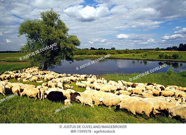Flock of Domestic Sheep (Ovis ammon f. aries) grazing at a dyke, Mecklenburg Elbe Valley Nature Park, UNESCO Elbe River Landscape Biosphere Reserve