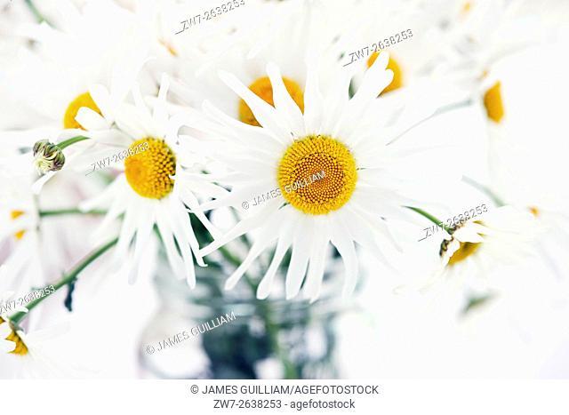White Daisy flowers in glass vase