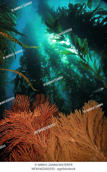 California Golden Gorganian in Kelpforest, Muricea californica, Santa Catalina Island, Channel Islands, Pacific, California, USA