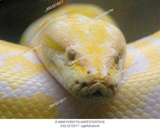 Albino Burmese python (Python bivittatus) photographed at Honolulu (Hawai'i) Zoo