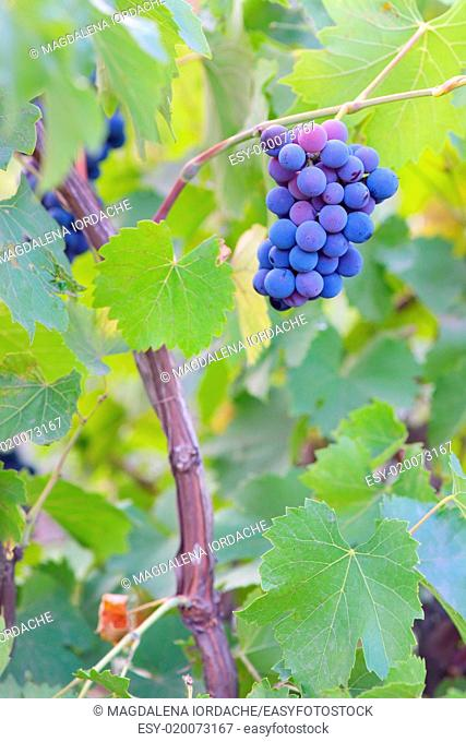 Single bunch of grapes on Vineyard