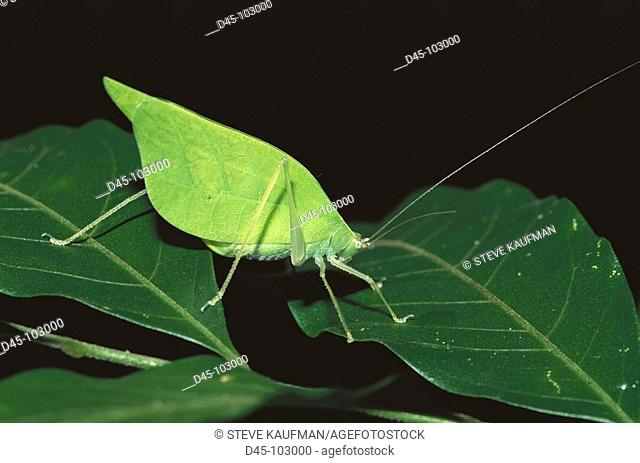 Katydid (Microcentrum sp.). Belize