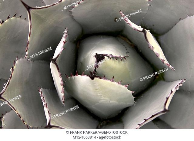 Agave parryi Cactus