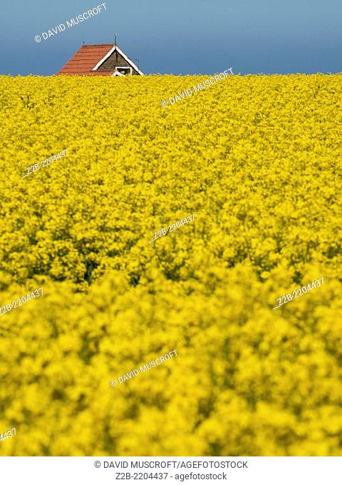 A field of Rapeseed (Brassica napus), also known as rape, oilseed rape, in Yorkshire, UK