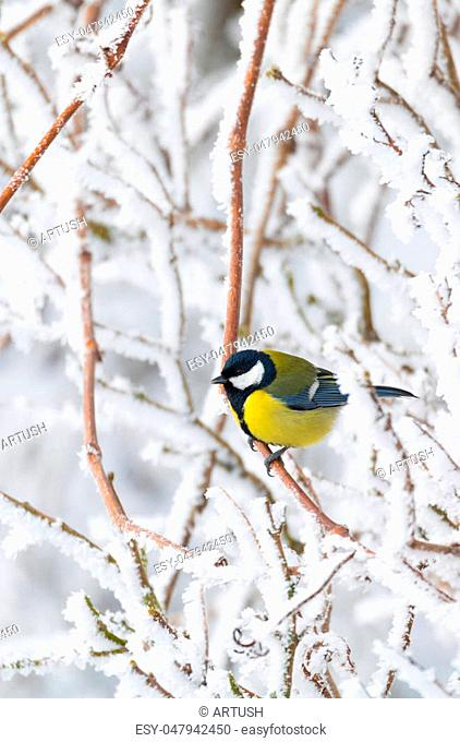 beautiful small bird great tit (Parus major) bird sitting on the snow covered tree branch in winter