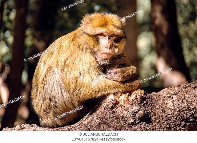 Wildlife shot of a barbary macaque monkey sitting on a stub looking straight into the camera in the National Park of Ifrane, Morocco