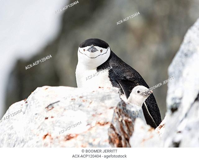 A Chinstrap Penguin and chick nest among rocks at Orne Harbor, Graham Land, The Antarctic Peninsula