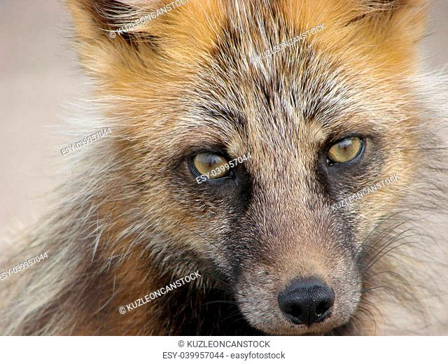 On June, 29th, 2007. Island Urup, Russia. A curious young fox