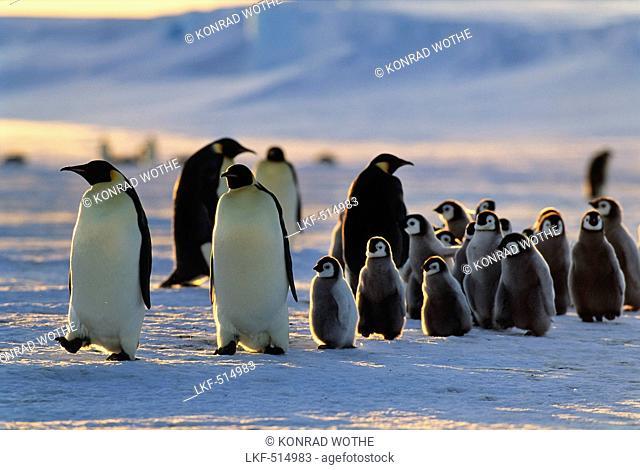 Emperor Penguins with chicks walking at sunset, Aptenodytes forsteri, iceshelf, Weddell Sea, Antarctic
