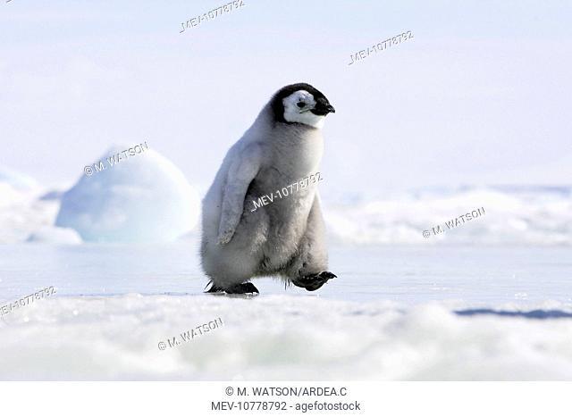 Emperor Penguin - chick walking across ice (Aptenodytes forsteri)