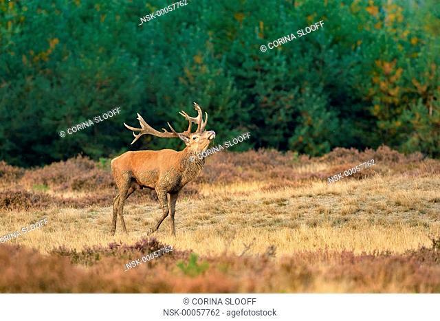 Red Deer (Cervus elaphus) stag raising its head in rutting season, The Netherlands, Gelderland, Hoge Veluwe