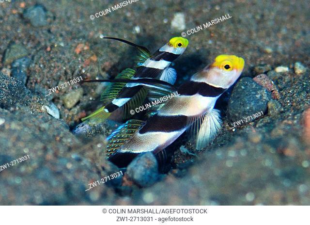 Black-rayed Shrimpgoby (Stonogobiops nematodes) pair with erect spines at hole entrance on black sand, Seraya House Reef dive site, Seraya, Bali, Indonesia
