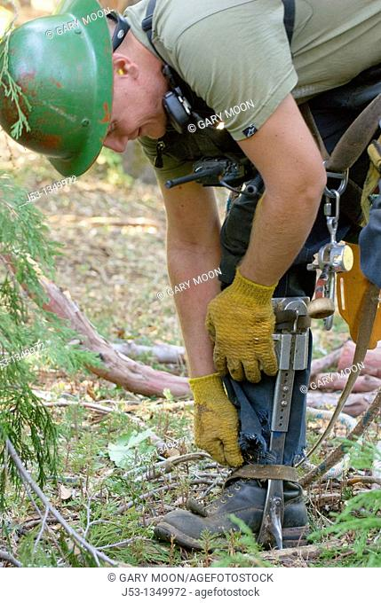 Logger attaching climbing spikes