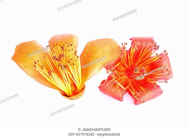 Bombax ceiba, Stock Photo, Picture And Low Budget Royalty Free Image