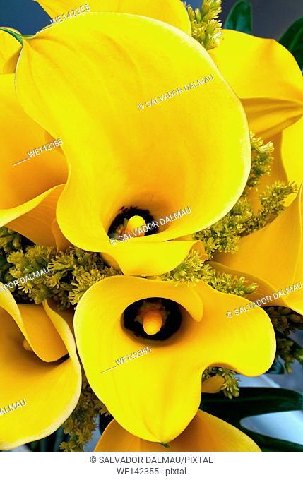 photography studio, creative image,yellow lily flower,close up shot,location girona,catalonia,spain,europe,
