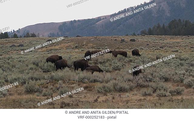 Bison (Bison bison) grazing with mountain in background