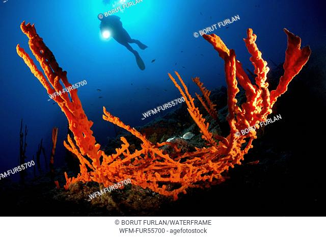Red Axinella Sponge, Axinella cannabina, Bodrum, Turkey