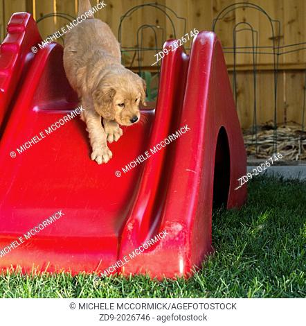 A gold retriever puppy makes its first journey down a slide