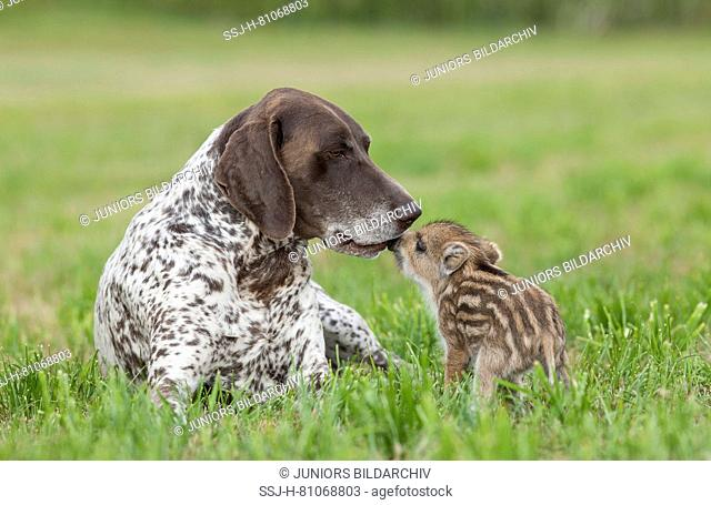 Animal friendship: Wild Boar and domestic dog. Shoat and adult German Shorthaired Pointer smooching on a meadow. Germany
