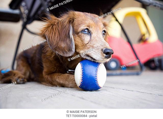 Long-haired Dachshund with ball