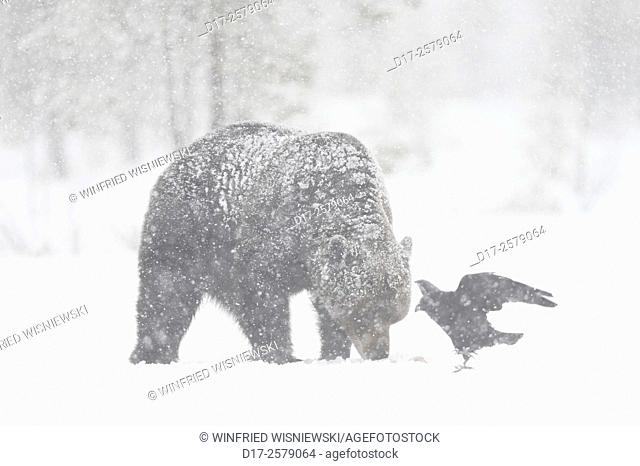 European brown bear (Ursus arctos) and common raven in a snowstorm on a moor with pine trees. Finland