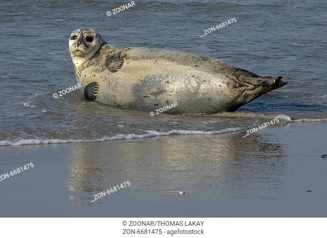 Seehunde auf der Helgoländer Düne. Seals on the Düne near Helgoland