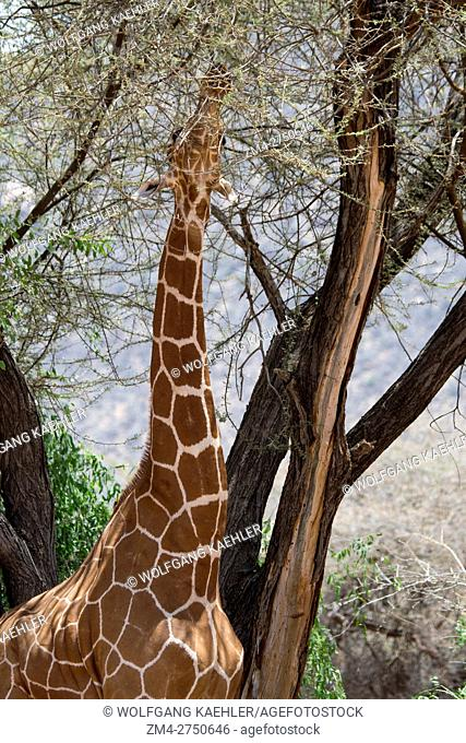 A reticulated giraffe (Giraffa reticulata) is browsing on a tree in Samburu National Reserve in Kenya
