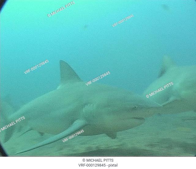 Bull sharks Carcharhinus leucas forage on sea floor. Playa Santa Lucia, Cuba