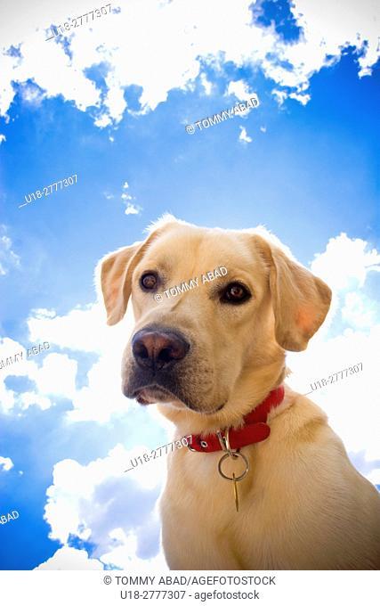 A Labrador Retriever looking at the camera