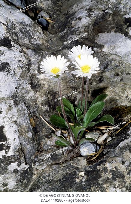 Daisy star (Bellidiastrum michelii or Aster bellidiastrum), Asteraceae