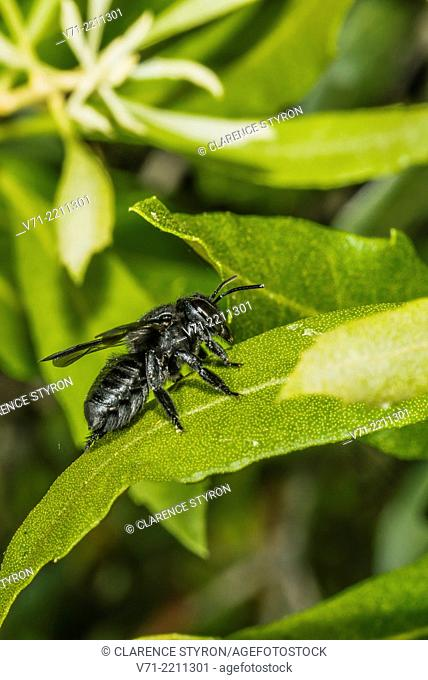 Digger Bee Melissodes bimaculata on Wax Myrtle Myrica cerifera Leaf