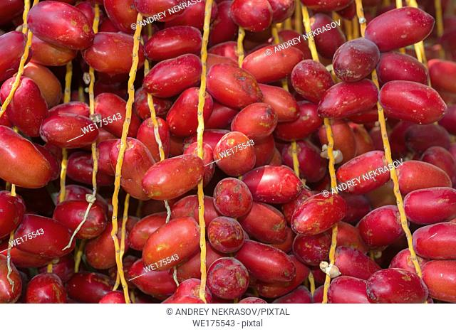 Closeup, Ripe red fruits dates swaying to the wind on date palm. Background red fruits dates